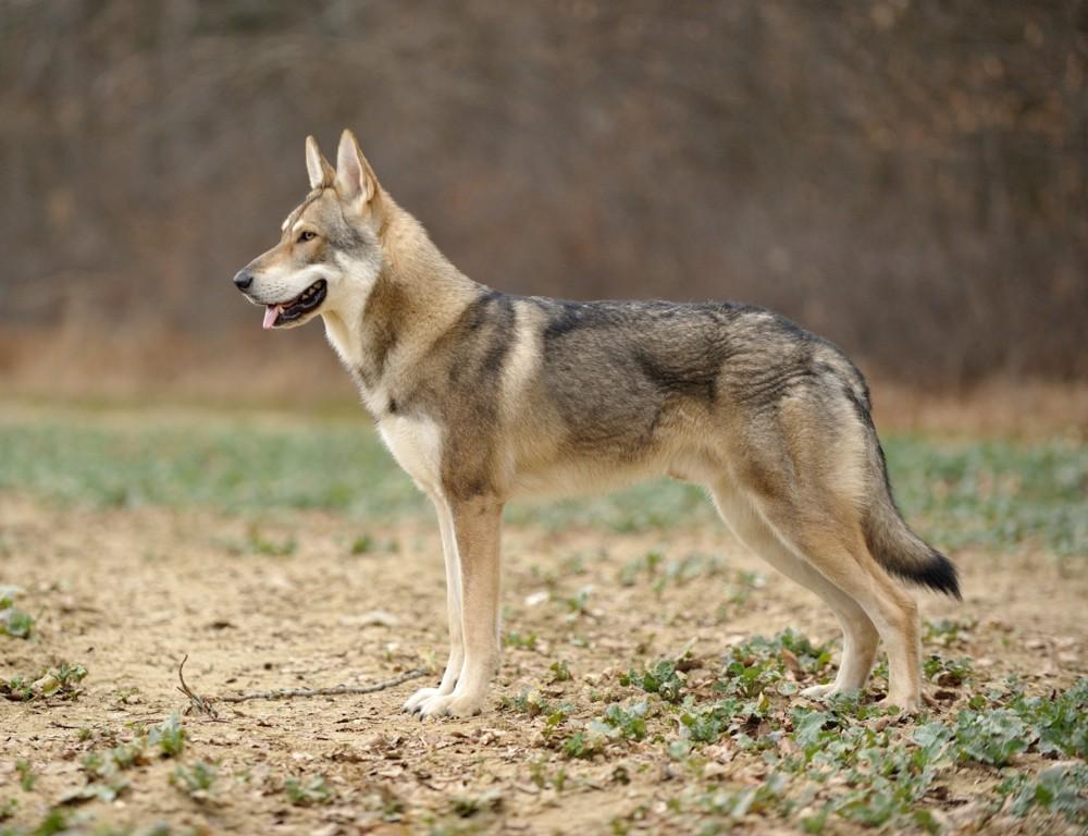 Saarlooswolfhond F.C.I. standaard